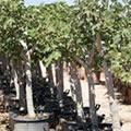 Ficus - Ficus carica