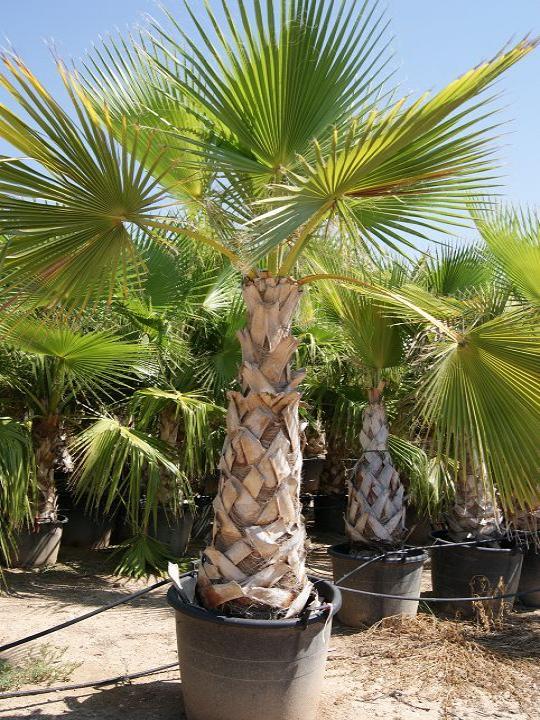 Пальмы все о пальмах в домашних условиях 714