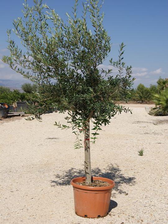 Olivo en maceta stunning olivo en maceta with olivo en - Olivo en maceta ...