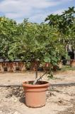 Ficus Carica - Fig tree shurb format