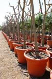 Ficus Carica - Fig tree in Root Ball Grid