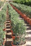 Olea Europaea - Olive tree Shrub Format