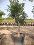 Ceratonia siligua - johannisbrotbaum