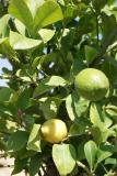 Citrus lemon - lemon tree