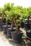 Citrus reticulata - Mandarin Baum