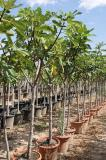 Ficus carica - Fig tree DECO