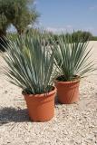Yucca rostrata deco
