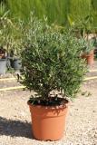 Olea Europaea Little